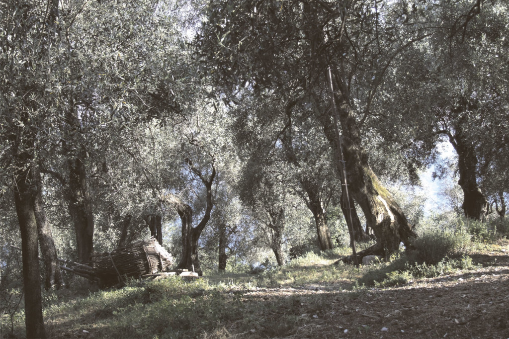 oliveto1