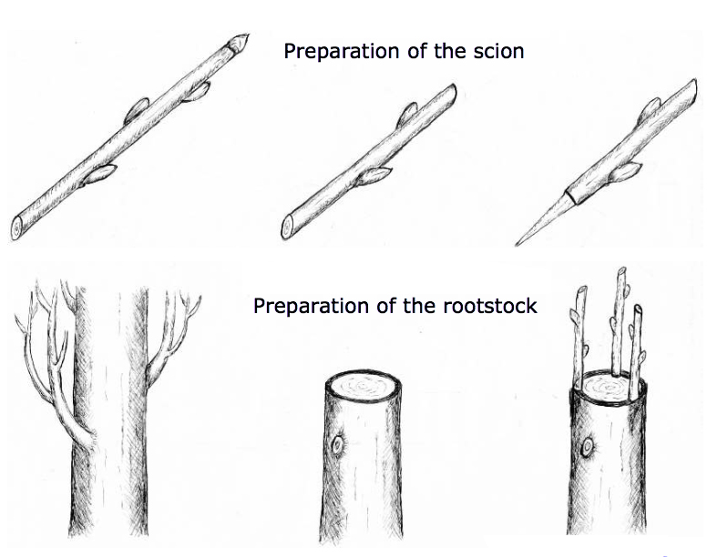 preparazione-castagno